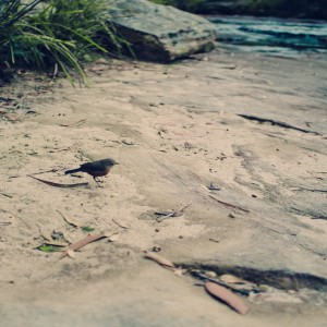 A rock rock warbler hops out to feed, Karloo Pools, Royal National Park, NSW