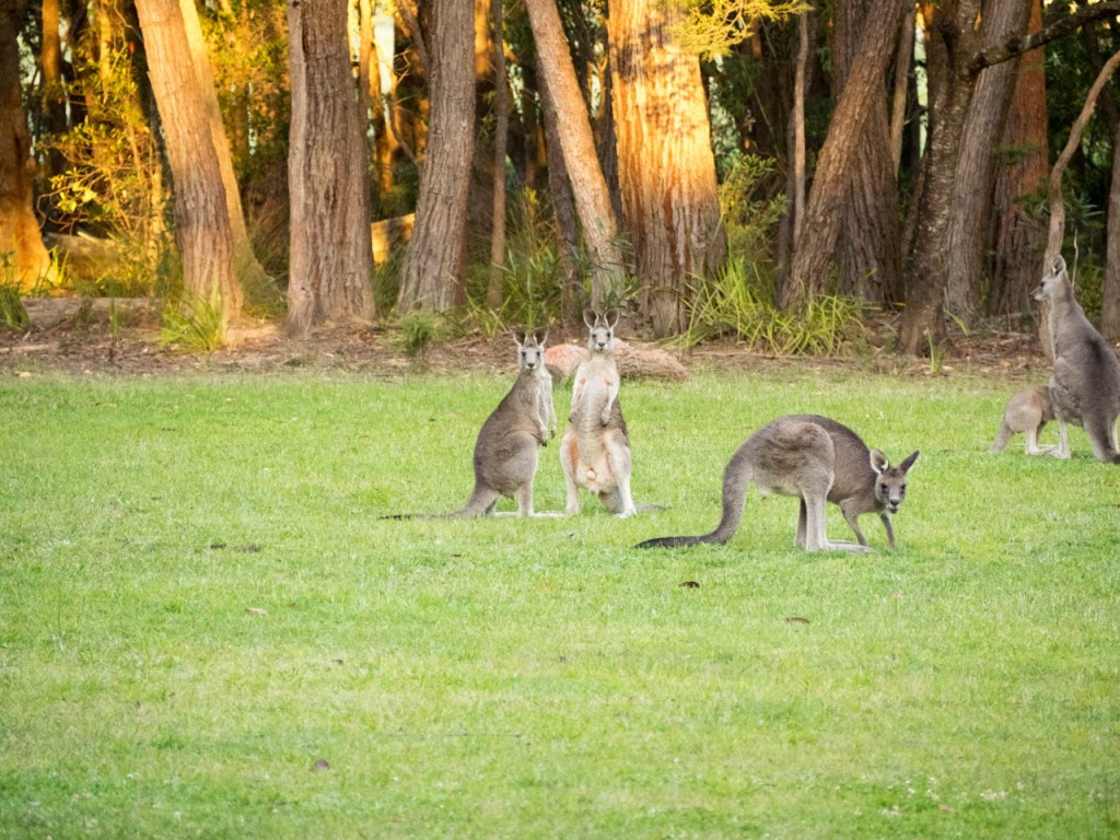 Swamp wallabies, Gambells Rest picnic area, Morton NP