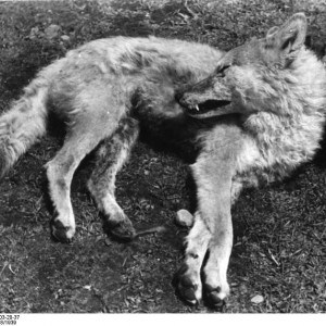 """Tibetischer Wolf, """"Bundesarchiv Bild 135-S-03-20-37, Tibetexpedition, Erlegter Wolf"""" by Bundesarchiv, Bild 135-S-03-20-37 / Schäfer, Ernst / CC-BY-SA. Licensed under CC BY-SA 3.0 de via Wikimedia Commons - http://commons.wikimedia.org/wiki/File:Bundesarchiv_Bild_135-S-03-20-37,_Tibetexpedition,_Erlegter_Wolf.jpg#/media/File:Bundesarchiv_Bild_135-S-03-20-37,_Tibetexpedition,_Erlegter_Wolf.jpg"""