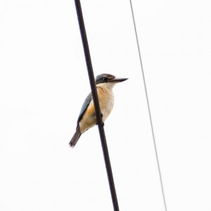 Sacred Kingfisher, Canterbury, NSW.