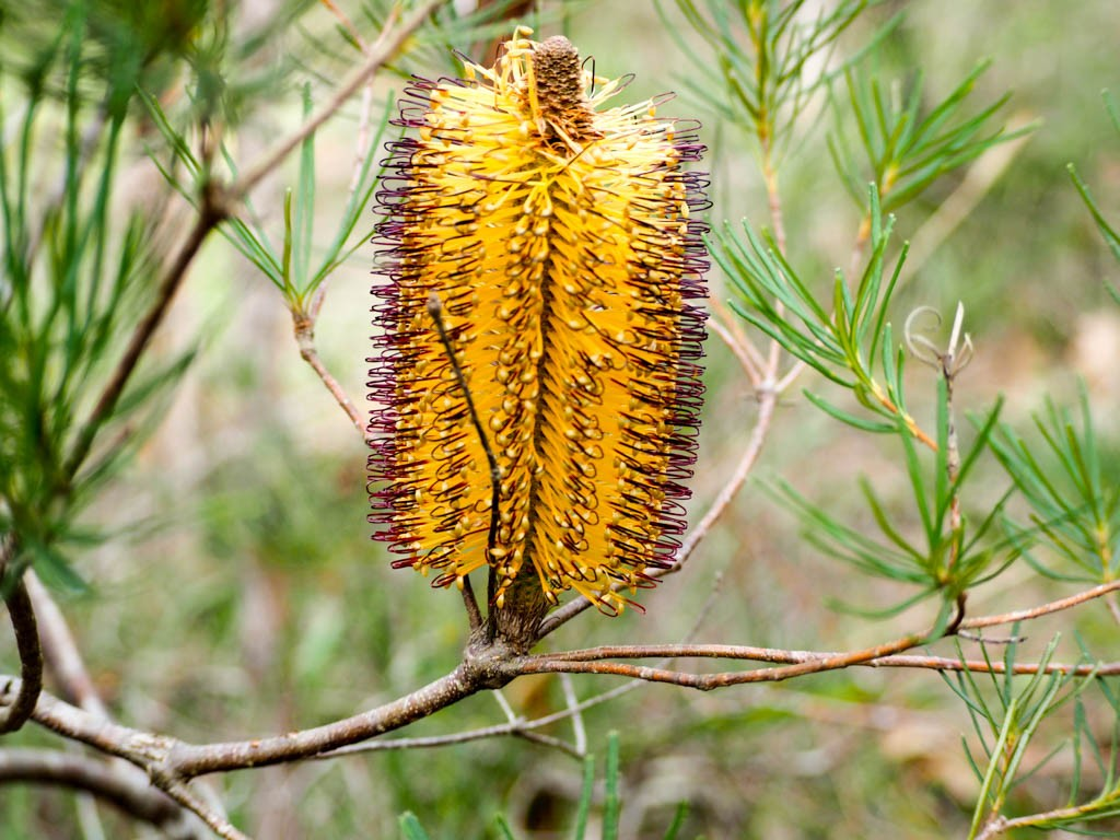 banksia spinulosa flower