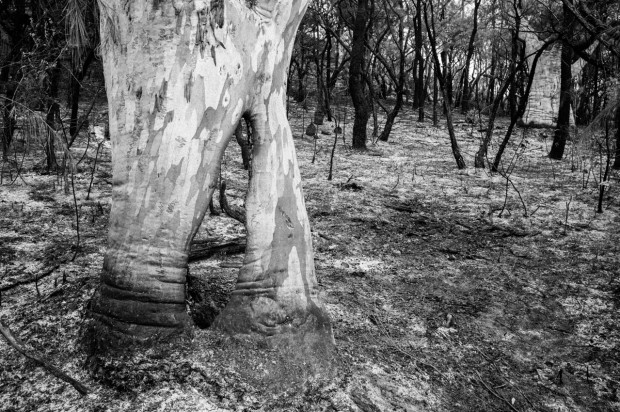 Scribbly Gums after a controlled-burn near Cowan