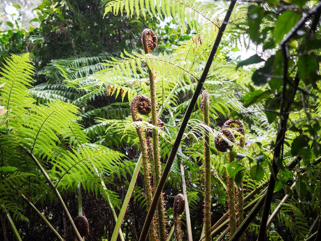 Tree ferns unfurl in the remnant rainforest enclave of The Vines