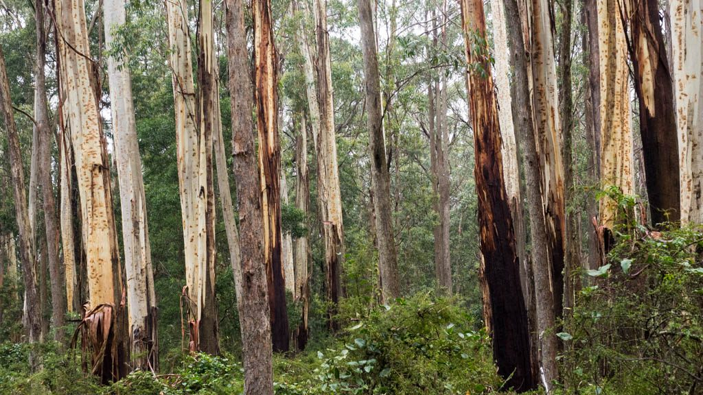 A copse of white ash (Eucalyptus fraxinoides), trunks polished by rain